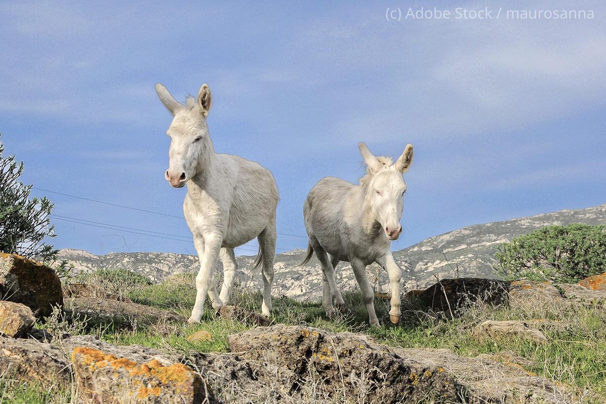 Insel-Asinara-Esel