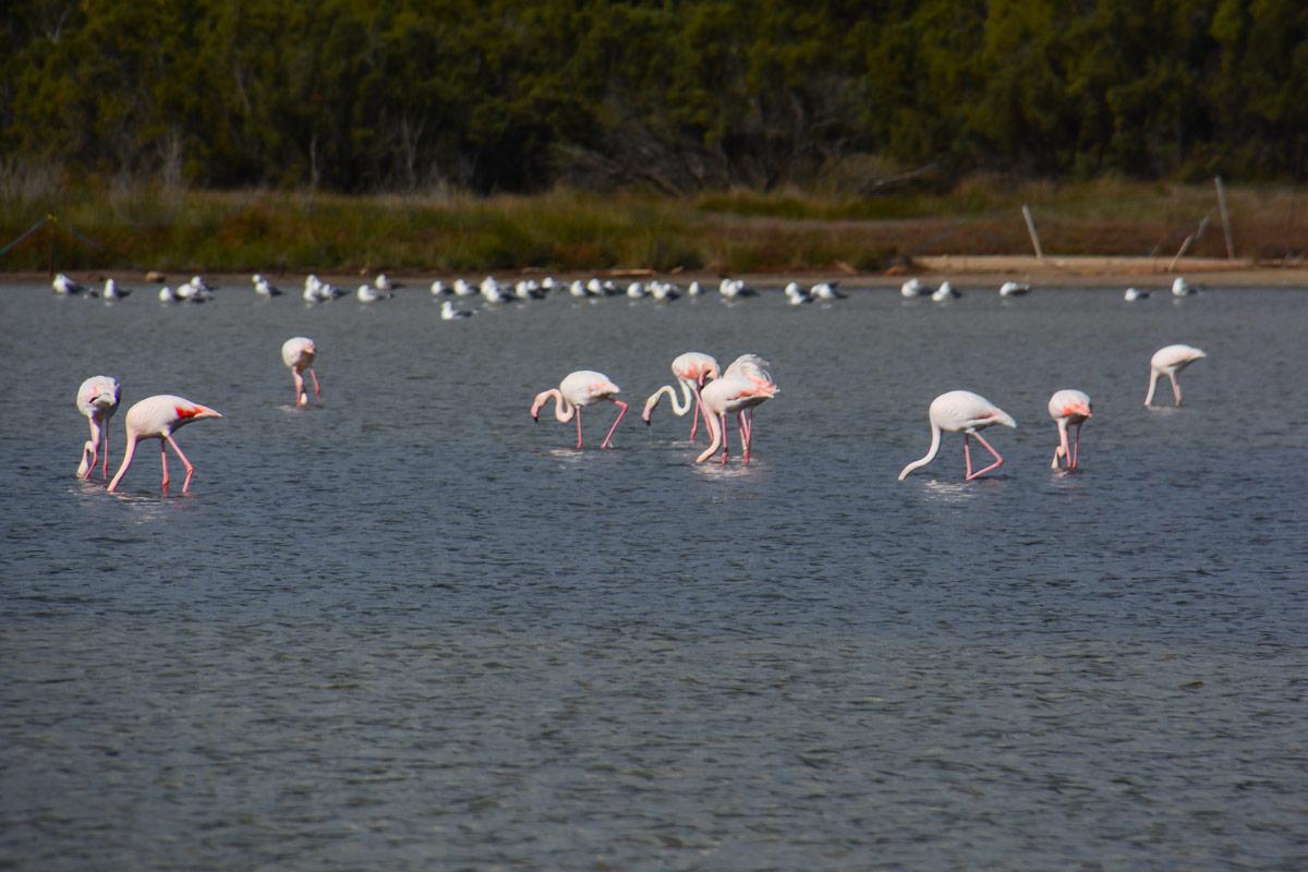 Stagno-Chia-Pula-Flamingos