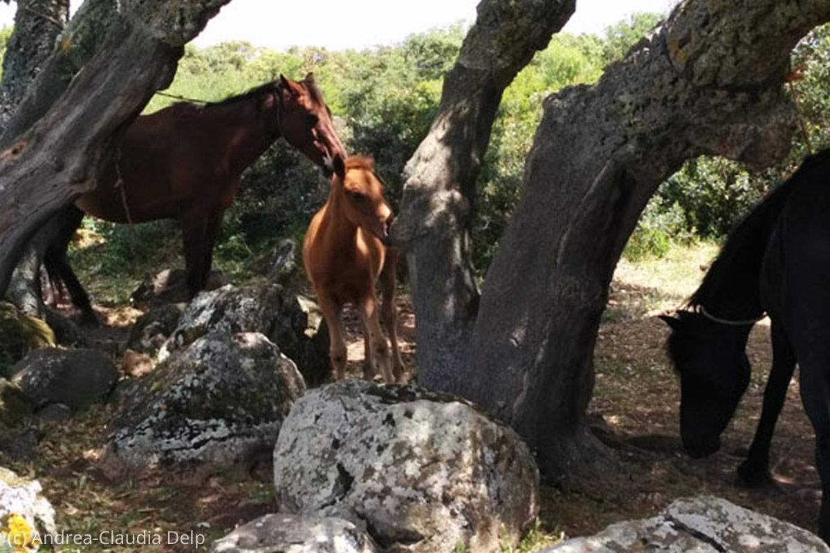 Giara-di-Gesturi-Pferde