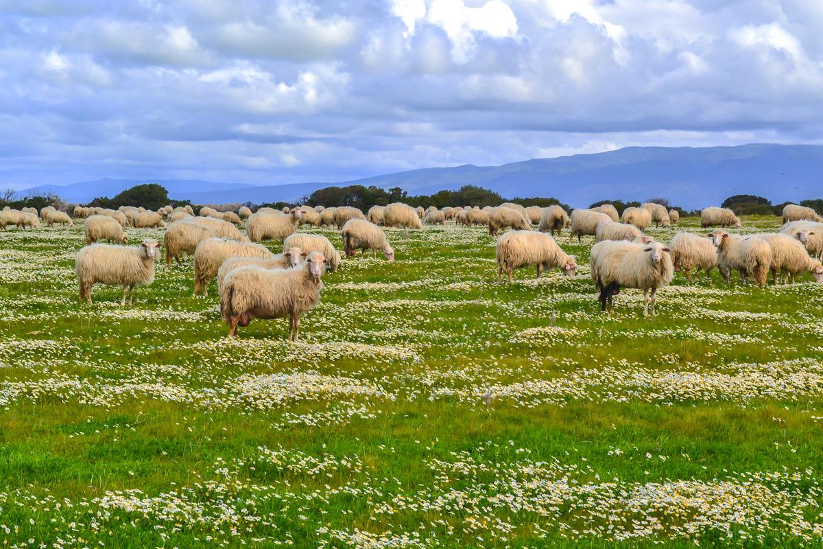 Schafe-Sardinien