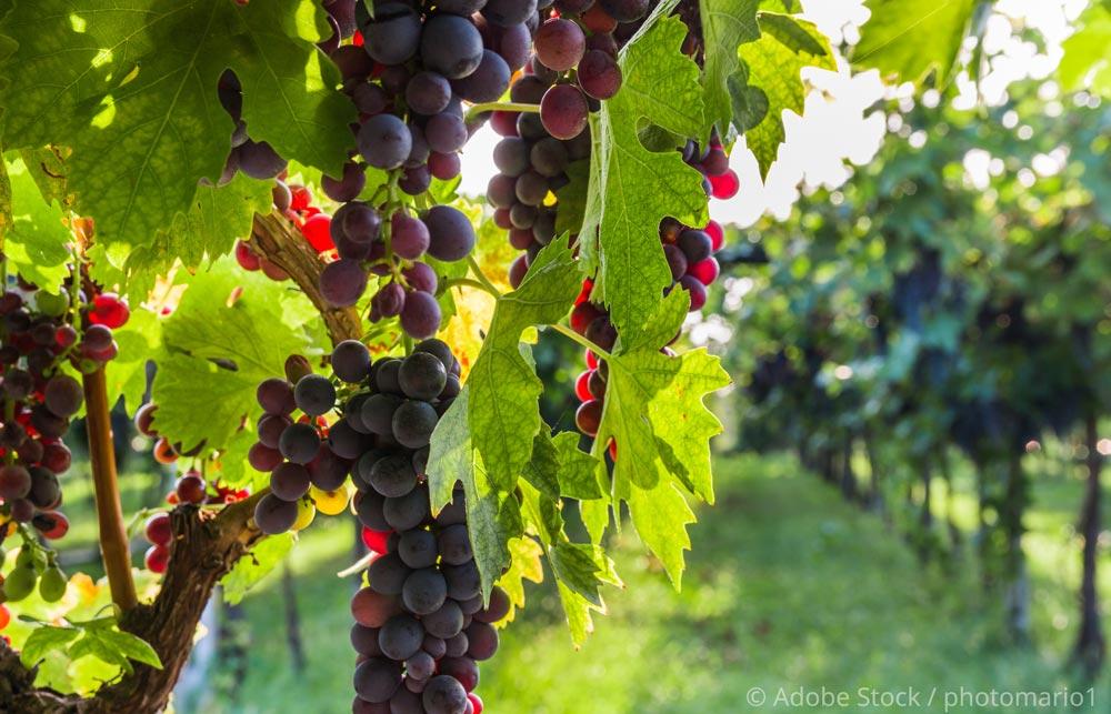 Bardolino-Wein